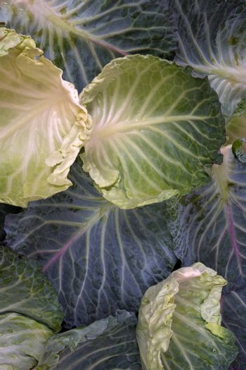 Savoy cabbage leaves arranged in a pattern