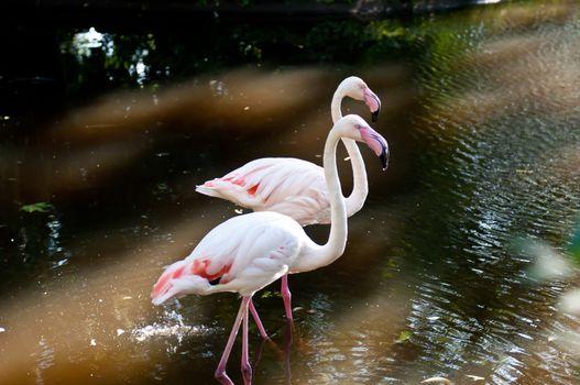 Birds Flamingos in the zoo of the city of Kaliningrad.