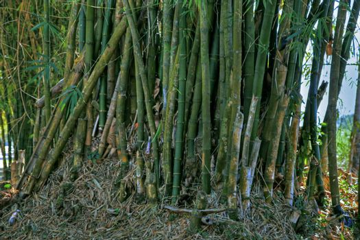 Gathering of sugar cane stalk in tropical setting