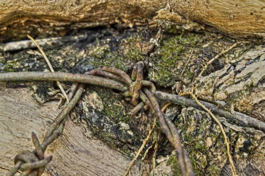 Barbed wire imbedded the bark of a tree