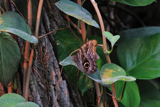 beautiful large brown butterfly sits on a tree