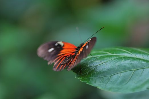 beautiful red butterfly sitting on a green leaf in the spring