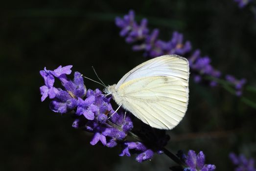 beautiful white butterfly sitting on lavender bloom in spring