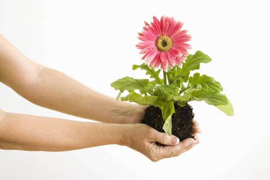 Woman's hand holding pink gerber daisy plant.