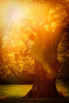 Old oak in summer sunset