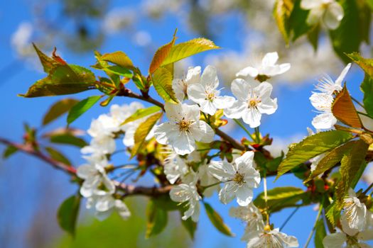 apple blossom. close up of a beautiful spring apple tree against