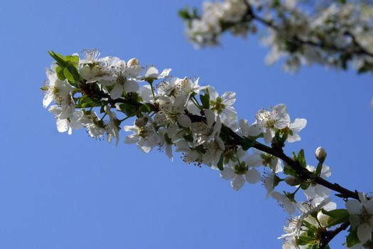 Close up of fruit flowers in the earliest springtime