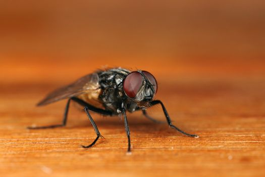 macro photography of a dirty fly