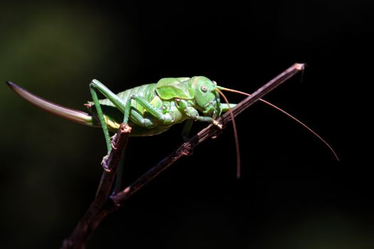 macro photography of a green cricket