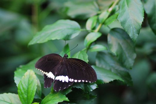 beautiful large white black butterfly sits on a leaf in the rainforest