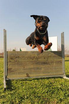 jumping rottweiler