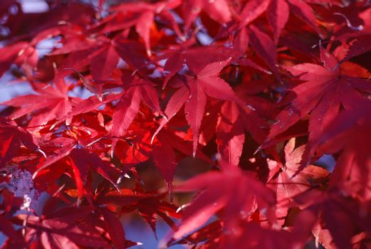 Red maple leaves fill the screen.