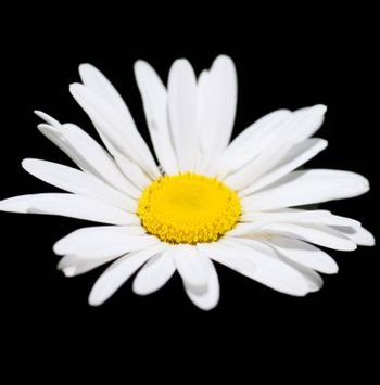 Macro view of single camomile over black background