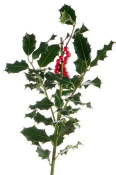 Christmas holly branch