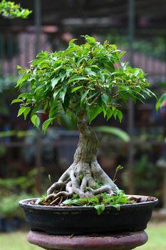 bonsai on green grass background