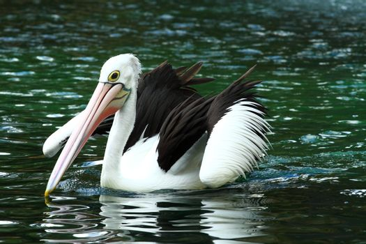 Australian pelican has a rest in the Perth Zoo