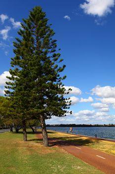 Araucaria tree in Perth, Australia