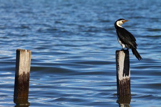 Cormorant in Australia