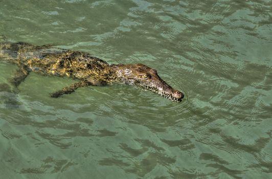 Jamaican river crocodile taking an easy swim