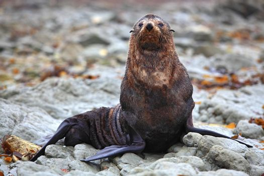 wild seal at Seal colony in Kaikoura New Zealand