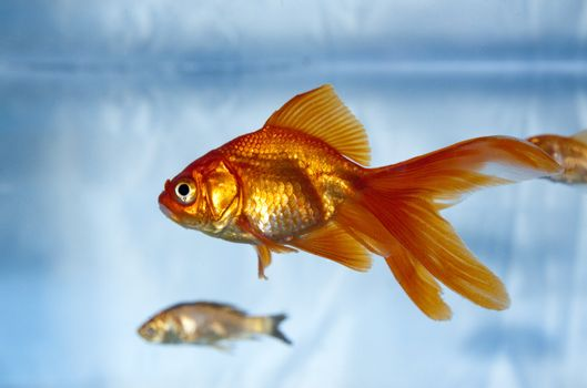macro image of a gold fish in a tank with friends