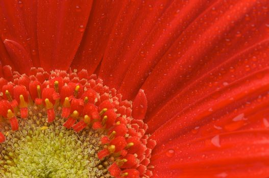 Macro of a Red Gerber Daisy with Water Drops.