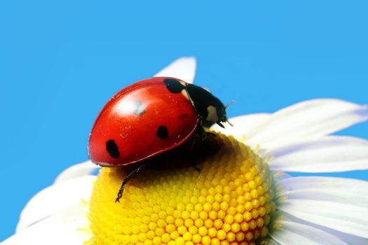 red summer ladybug on camomile under blue sky
