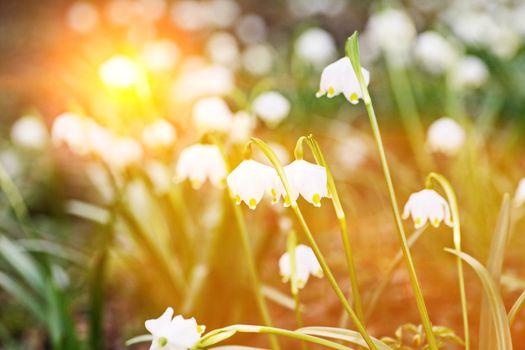 snowflake plant spring