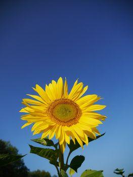 sunflower sky outside