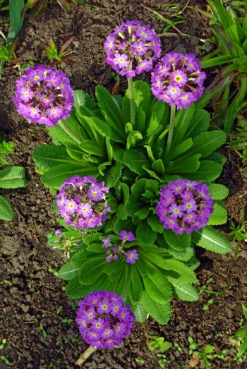 Magenta primrose (primula vulgaris) one of the first flowers to blossom in spring