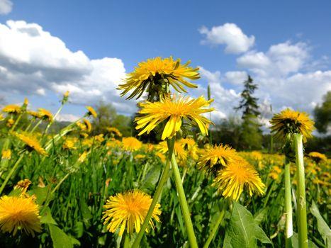 spring dandelion meadow
