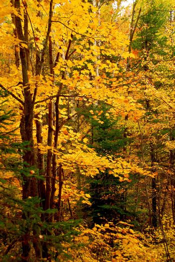 Colorful fall forest background with maple trees