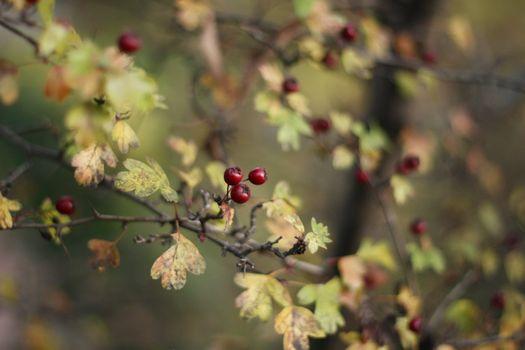 Hawthorn in autumn