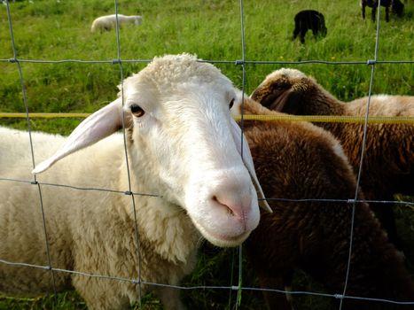 Cute sheeps on green meadow