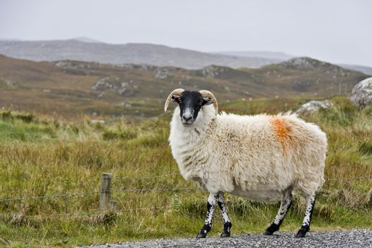 white sheep with black head in scottish landscape looking to the camera