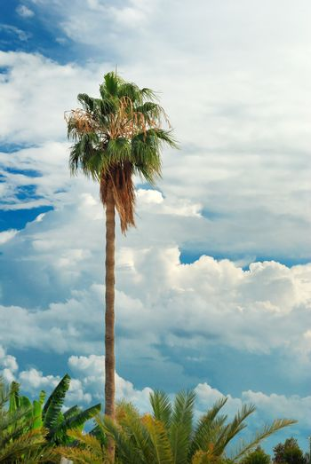 Palm tree over blue sky with cumulus clouds