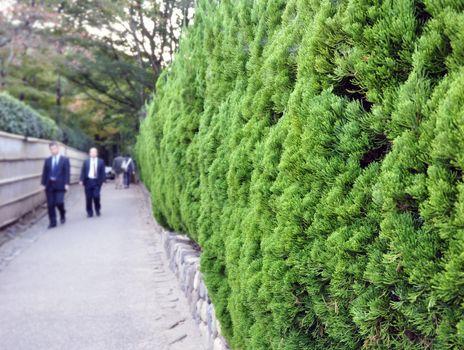 Evergreen foliage in japanese garden