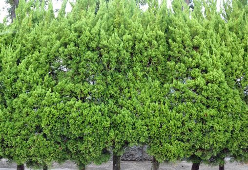 Evergreen foliage