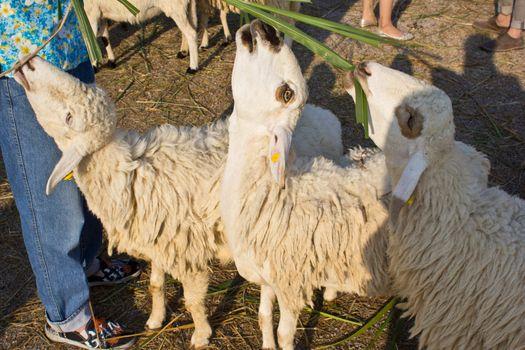 sheep eat grass in the swiss sheep farm