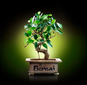 Bonsai isolated on Black background
