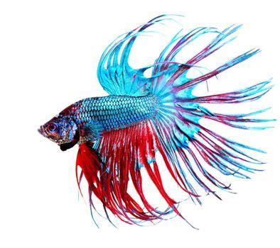 Betta Fish closeup. Colorful Dragon Fish
