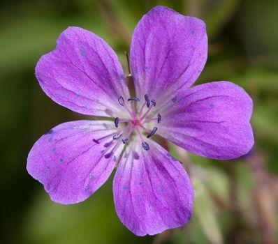 Wood Cranesbill or Woodland Geranium flower