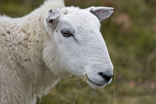 head of sheep in front of blurred wetland