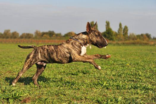 running bull terrier
