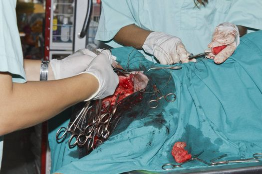 Surgery tumor from breast of Rottweiler in the operating room