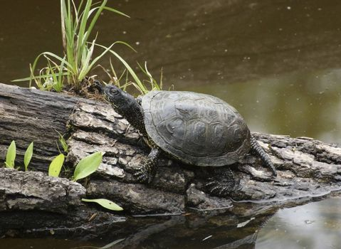 European pond turtle sitting on a bough at a pond