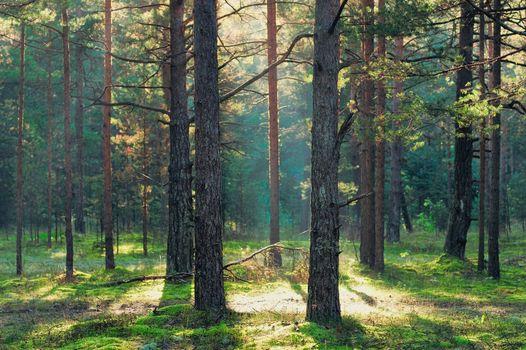 Sunbeam in coniferous forest