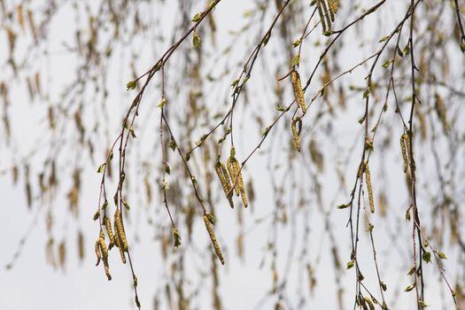 Birch catkins