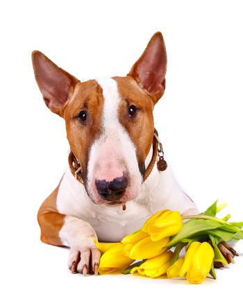 Portrait of a bull terrier with tulips.