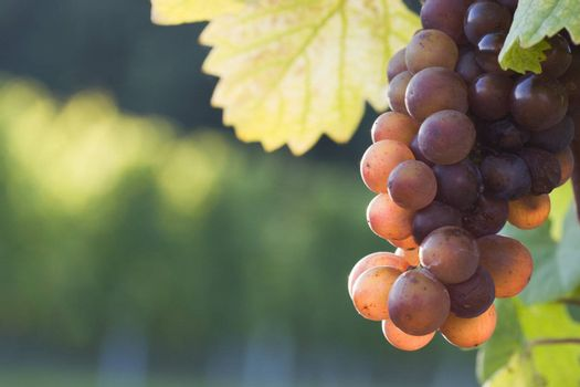 Grapes in the evening sun in a french vineyard